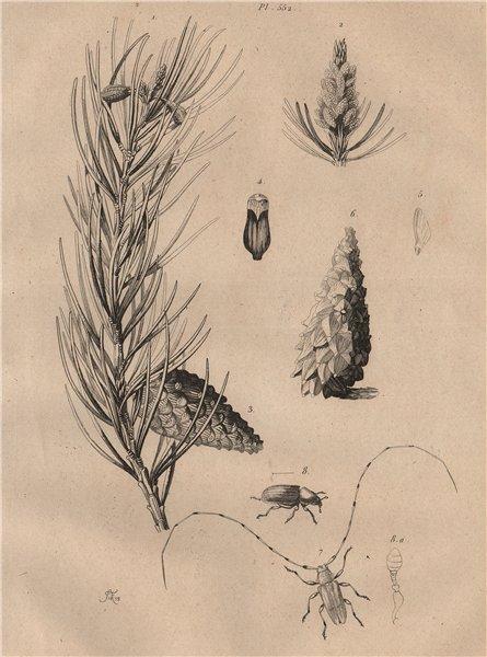 Associate Product Scots pine. Red Pine. Lamie tisserand/Long-horned beetle.Hylurgus piniperda 1834