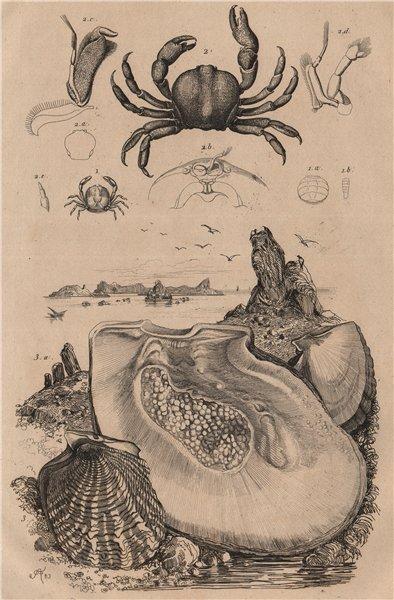 Associate Product SEALIFE. Pinnothères (pinnotheres crabs). Pintadine (Pinctada/Mother Pearl) 1834