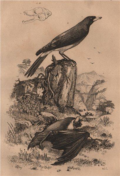Associate Product Pipistrelle bat. Pique Boeuf (Oxpecker) 1834 old antique vintage print picture