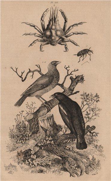 Associate Product Pirol (Oriole). Pise (Pisa Crab). Pissode (Weevil) 1834 old antique print