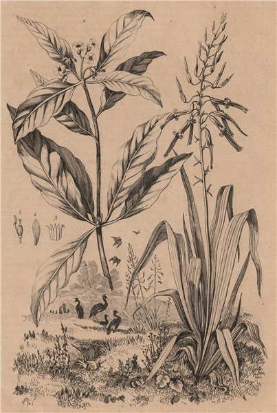 Associate Product PLANTS. Pitcairnia. Pittospore (Pittosporum) 1834 old antique print picture