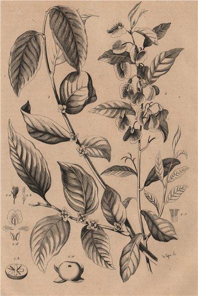 PLANTS. Plaqueminier (Persimmon). Platychilier 1834 old antique print picture