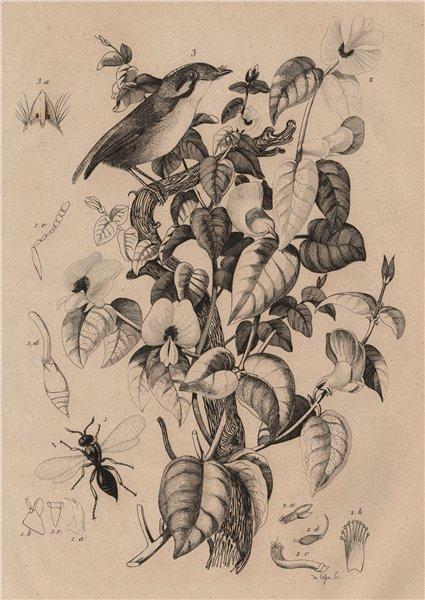 Associate Product Platygaster robiniae. Platylobium plant. Platyrhinque (Flycatcher) 1834 print