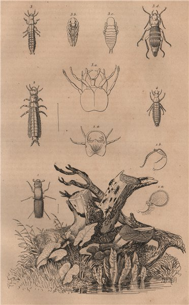 Associate Product BEETLES. Platypus cylindrus (oak pinhole borer). Plectes. Carabus. Cychrus 1834