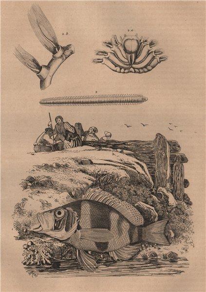 Associate Product FISH. Plectropomus (Coraltrout). Plèione 1834 old antique print picture