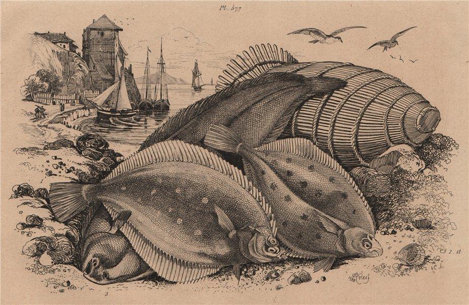 Associate Product RIGHT-EYE FLOUNDER FISH. European Plaice. Common dab/Limanda limanda. Sole 1834
