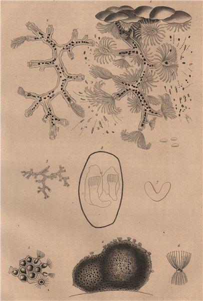 Associate Product BRYOZOA. Plumatella & Alcyonella 1834 old antique vintage print picture