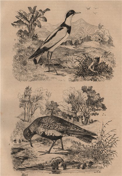 Associate Product PLOVERS. Pluvier Commun (Common Plover). Pluvier armé (Ringed Plover) 1834
