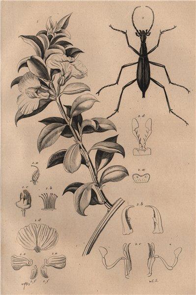 Associate Product Podalyria sericea (Cape satin bush). Carabus blaptoides (ground beetle) 1834