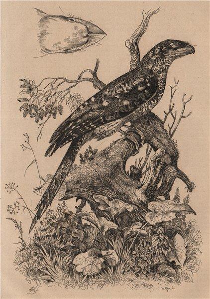 Associate Product BIRDS. Podarge Papou (Papuan Frogmouth) 1834 old antique vintage print picture