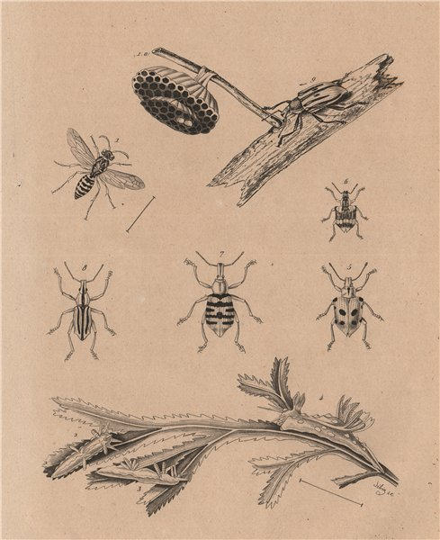 INSECTS. Polistes gallicus (paper wasp). Polycères. Polydius bugs 1834 print