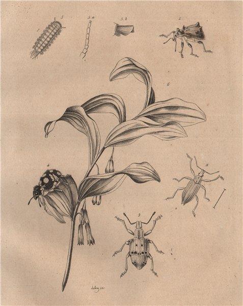 Associate Product Brazilian blue & Palmetto weevils. Bristly millipede. King Solomon's-seal 1834