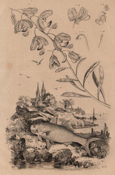 Associate Product BOTANICALS. Polygale (Milkwort). Polynemidae (Threadfin) 1834 old print