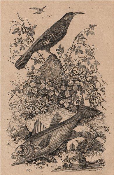 Associate Product Pomathorin (Scimitar Babbler). Pomatomus (Bluefish) 1834 old antique print
