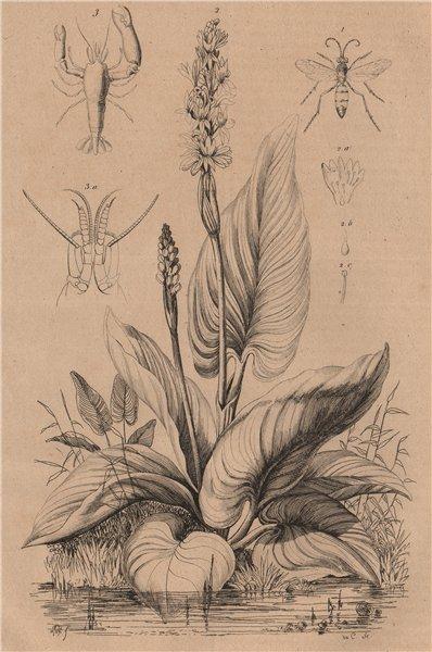 Associate Product Pompilidae (spider wasps). Pontederia (pickerelweed). Pontonia (pen shrimp) 1834