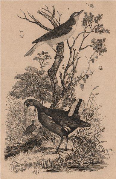Associate Product BIRDS. Pouillot (Warbler). Poule D'Eau (Common Moorhen) 1834 old antique print