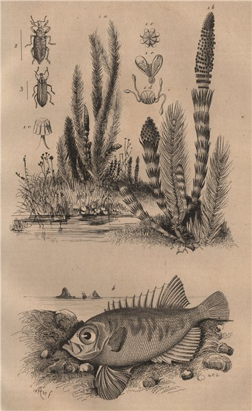 Associate Product Prèle (Horsetail). Prépodes. Priacanthidae (bigeye fish) 1834 old print