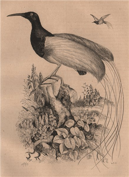 Associate Product BIRDS. Promerops (Sugarbird) 1834 old antique vintage print picture