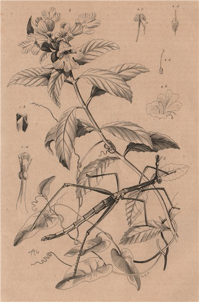 Associate Product Proscopia (Horsehead Grasshopper). Prostanthera (Mintbush) 1834 old print