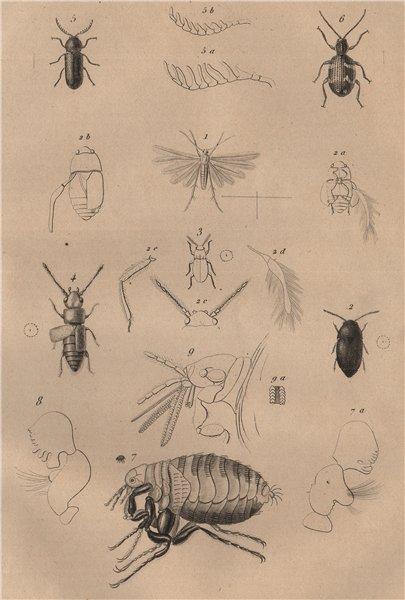 Associate Product Pterophoridae (plume moth). Ptilium Ptilinus. Ptine (Spider Beetle). Flea 1834