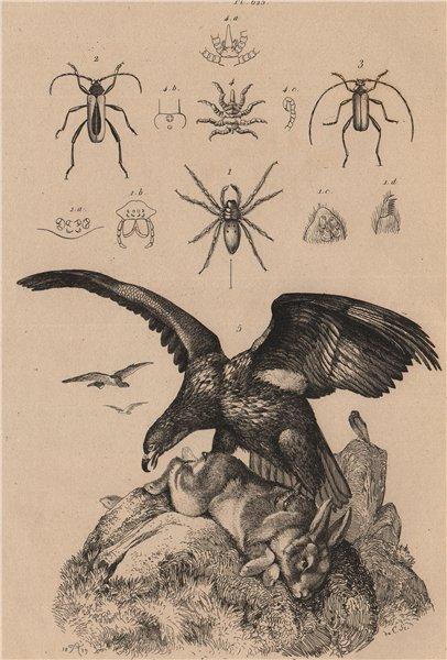 Associate Product Sea eagle. Argyroneta/Diving bell spider. Purpuricenus beetles. Sea spider 1834