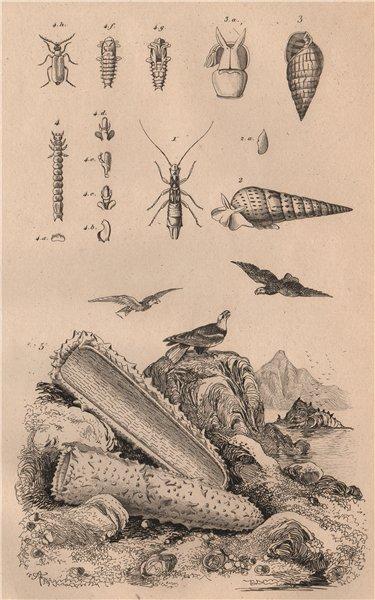 Associate Product Pygidicrana. Pyramidella. Pyrochroa (Cardinal Beetle). Pyrosoma (tunicate) 1834