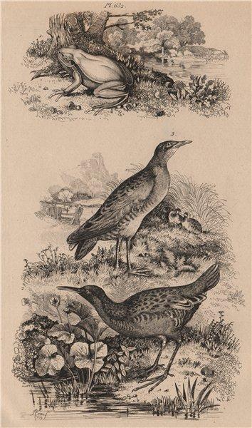 Associate Product Rainette/European tree frog. Rale d'eau/Water Rail. Rale Genets/Corncrake 1834