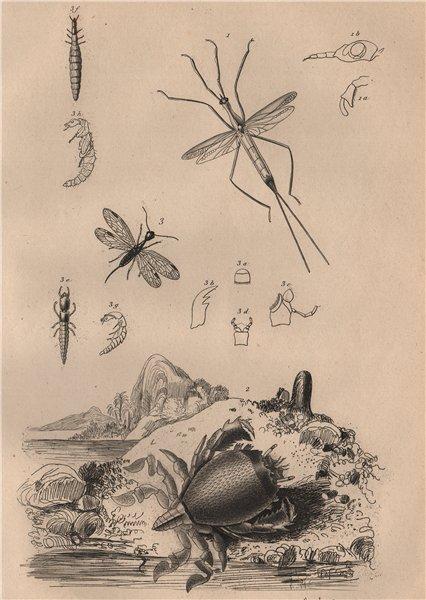 Associate Product Ranatra bug. Ranina (spanner crab). Raphidioptera (snakeflies) 1834 old print