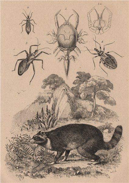 Raccoon. Reduviidae. Masked hunter assassin bug. Assassin bug saw.Remipedia 1834