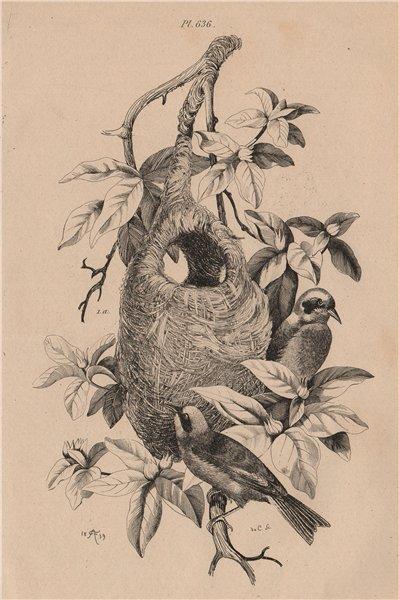Associate Product BIRDS. Rémiz (Eurasian Penduline Tit). Hanging nest 1834 old antique print