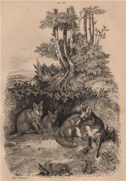 Associate Product MAMMALS. Renards (Foxes) 1834 old antique vintage print picture