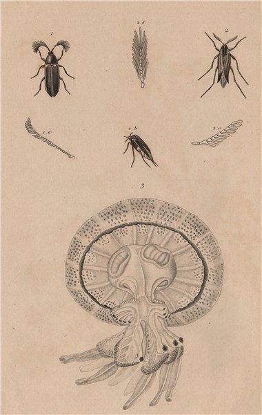 Associate Product Rhipicera (Australian Dascilloid beetle). Rhipiphorus.Rhizostomae jellyfish 1834