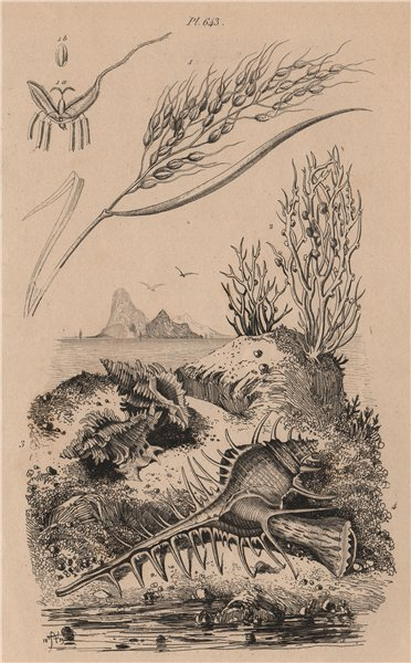 Associate Product Riz (Rice). Roccella (Lichen). Rochers. Murex 1834 old antique print picture
