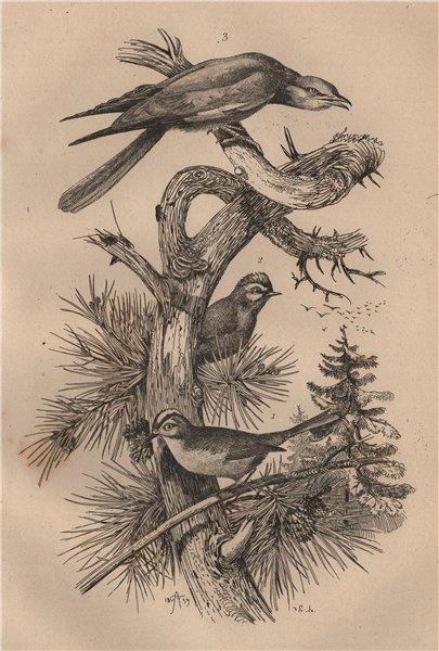 Associate Product BIRDS. Roitelet (Wren). Rollier (Roller) 1834 old antique print picture