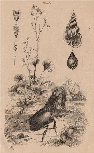 Associate Product Saxifraga. Epitonium clathrum (Wentletrap). Helix pomatia. rhino beetle 1834