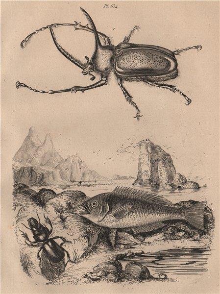 Associate Product Scarab. Scaridae (Parrotfish). Scarites Eurytus 1834 old antique print picture