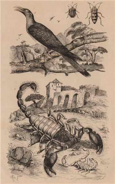 Associate Product Scorpions.Graphosoma (striped shield bug).Scythrops (Channel-billed Cuckoo) 1834
