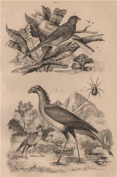 Associate Product Secretary Bird. Serin Canaries (Atlantic Canary). Dermanyssus gallinae 1834