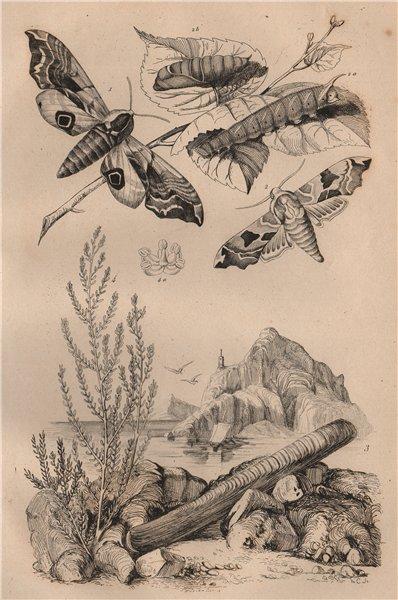 Smerinthus (hawkmoths). Solenidae (razor shells). Salsola (saltwort) 1834