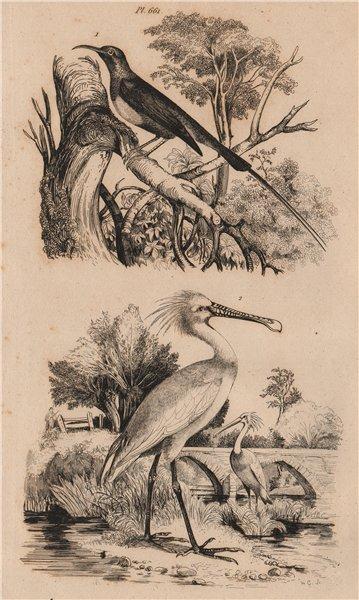 Associate Product BIRDS. Souimanga (Sunbird). Spatule (Spoonbill) 1834 old antique print picture