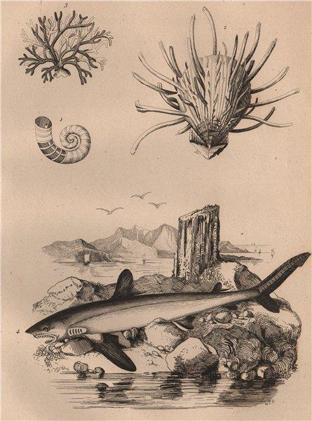 Associate Product Spirula. European thorny oyster. Spongodium. Squalus acanthias (Dogfish) 1834