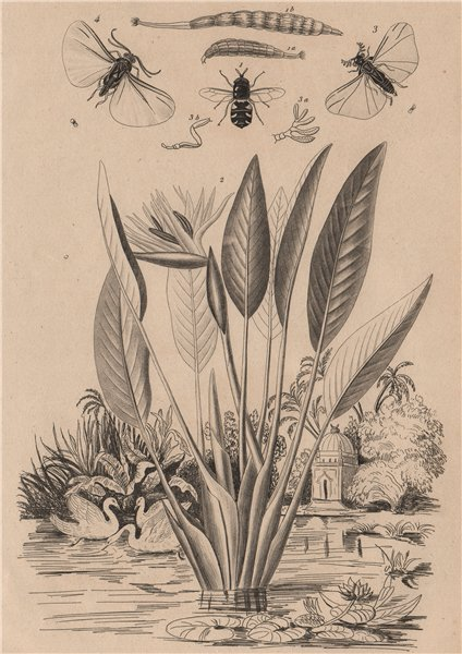 Associate Product Stratiomys (soldierfly). Strelitzia (bird paradise flower). Stylops insect 1834