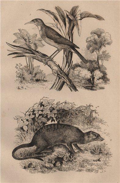 Associate Product Sucrier (Conebill). Surikate (Meerkat) 1834 old antique vintage print picture