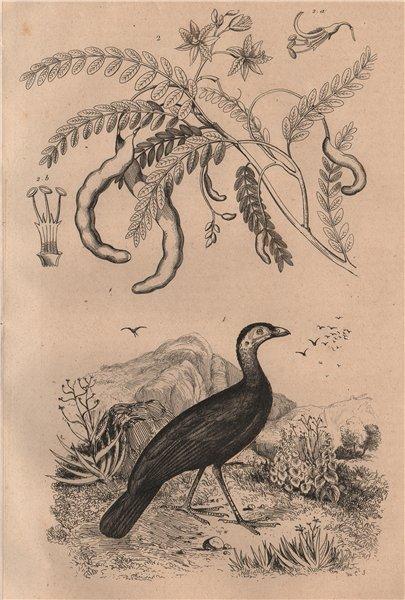 Associate Product Talégale (Australian Brushturkey). Tamarinier (Tamarind tree) 1834 old print