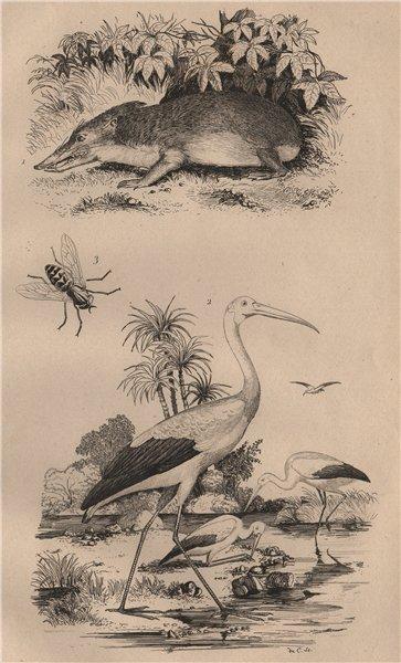 Associate Product INSECTS. Tanrec (Tenrec). Tantale (Mycteria stork). Taon (Horsefly) 1834 print