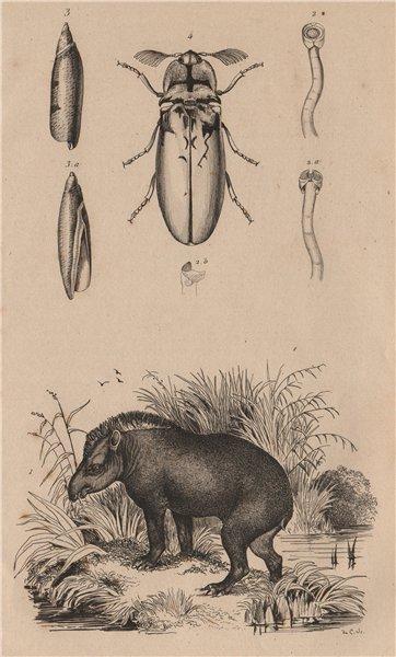 Associate Product Tapir. Taret. Tarière (auger). Taupin (Agriotes lineatus) 1834 old print