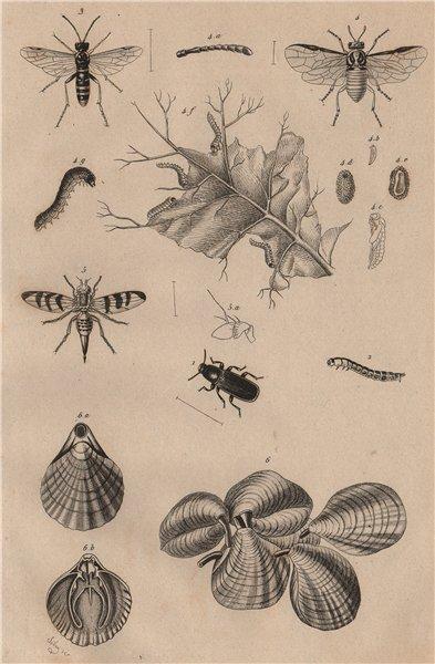 Mealworm. Tenthredes (Sawflies). Téphrites (Euthera fly). Terebratulids 1834