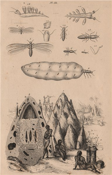 Associate Product ANIMALS. Tergipes. Nudibranch. Termès (Termites). Mound 1834 old antique print