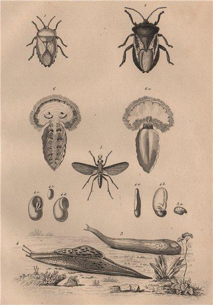 Associate Product Tessaratomidae. Testacella Cryptella slugs. Tetanocera. Tethys fimbria 1834