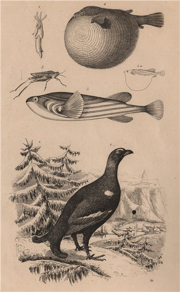 Associate Product Grouse. Tetrarhynchus. Long-horned Groundhopper. Pufferfish 1834 old print